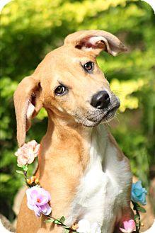 Hound (Unknown Type)/Terrier (Unknown Type, Medium) Mix Puppy for adoption in Gorham, Maine - Fiona