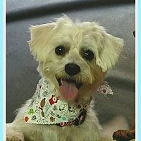Adopt A Pet :: Snowball - Tavares, FL