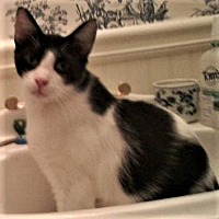 Adopt A Pet :: Cowboy Bob - Duluth, GA