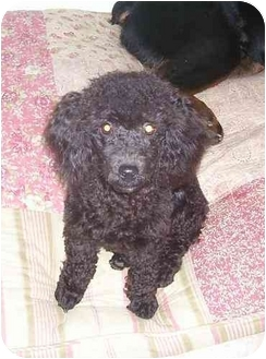Toy Poodle Dog for adoption in Evansville, Indiana - Shadow