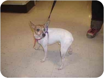 Rat Terrier Mix Dog for adoption in Howell, Michigan - Ike