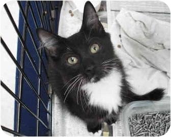 Domestic Mediumhair Kitten for adoption in Brooklyn, New York - Seth