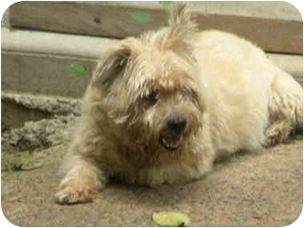 Cairn Terrier Dog for adoption in PRINCETON, New Jersey - Sparkie