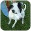 Photo 4 - Blue Heeler/Terrier (Unknown Type, Medium) Mix Dog for adoption in Tipton, Iowa - Domino