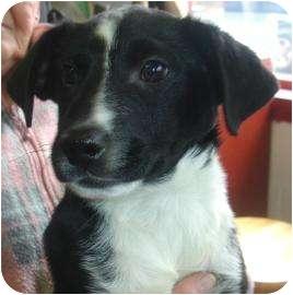 Labrador Retriever/Border Collie Mix Puppy for adoption in Old Bridge, New Jersey - Garia