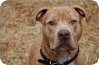 American Pit Bull Terrier Mix Dog for adoption in Vernon Hills, Illinois - Franco