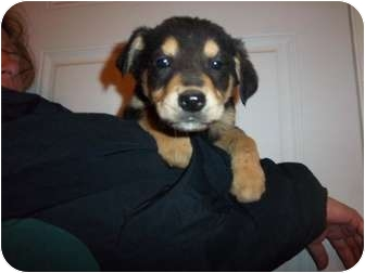 Border Collie/Rottweiler Mix Puppy for adoption in Westminster, Colorado - Hass