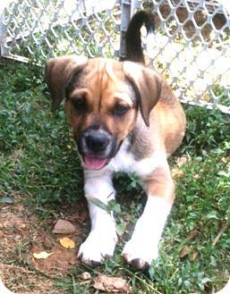 Labrador Retriever Mix Puppy for adoption in Newburgh, Indiana - Simon