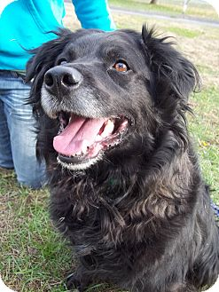 Spaniel (Unknown Type) Mix Dog for adoption in New Milford, Connecticut - Blackie