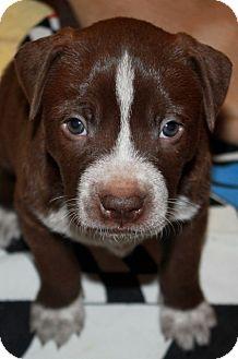 Labrador Retriever/Bulldog Mix Puppy for adoption in Marietta, Georgia - Shanti