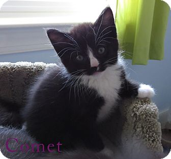 Domestic Shorthair Kitten for adoption in Richmond, Virginia - Comet