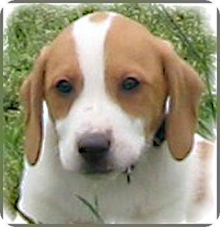 Beagle/Hound (Unknown Type) Mix Puppy for adoption in Marlborough, Massachusetts - Bo