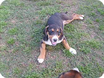 Beagle Mix Puppy for adoption in East Hartford, Connecticut - SANDY ADOPTION PENDING
