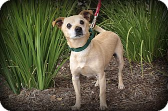 Chihuahua/Terrier (Unknown Type, Medium) Mix Dog for adoption in Mission Viejo, California - Doc
