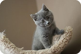 Russian Blue Kitten for adoption in Marietta, Georgia - Sapphire