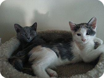 Russian Blue Kitten for adoption in San Fernando Valley, California - Ghost