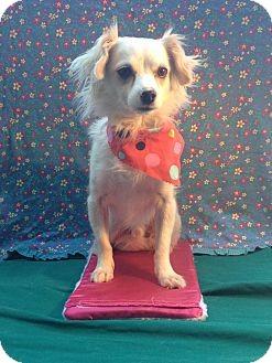 Chihuahua Dog for adoption in Irvine, California - BERNIE