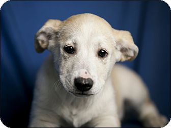 Labrador Retriever Mix Puppy for adoption in Colville, Washington - Puppies II