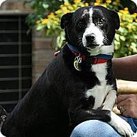 Adopt A Pet :: Midge (adoption fee $300) - Staunton, VA