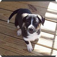 Adopt A Pet :: Nicholas - Bowie, TX