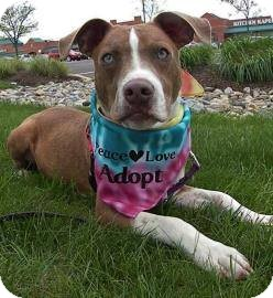 Pit Bull Terrier Mix Puppy for adoption in Southampton, Pennsylvania - Chase Muttley