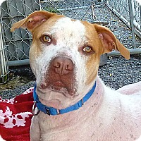 Pit Bull Terrier Mix Dog for adoption in Carmel, New York - Wallace