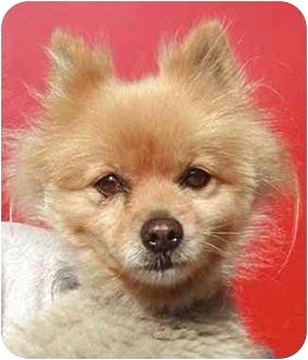 Pomeranian Mix Dog for adoption in Rolling Hills Estates, California - Peaches