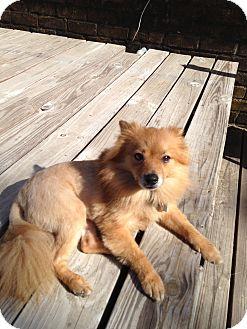 Pomeranian Dog for adoption in conroe, Texas - Garner