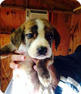 Hound (Unknown Type) Mix Puppy for adoption in Shelter Island, New York - Ray