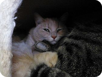 Domestic Shorthair Cat for adoption in Quincy, California - One-Eye Jack
