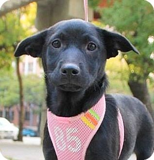 Labrador Retriever Mix Puppy for adoption in Castro Valley, California - Barkley