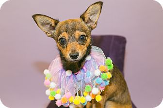 Chihuahua Mix Puppy for adoption in Lake Dallas, Texas - Scooter