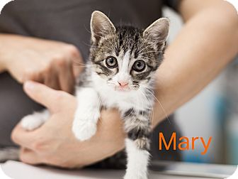 Domestic Shorthair Kitten for adoption in Dallas, Texas - Mary
