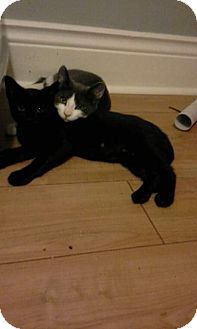 Domestic Shorthair Cat for adoption in THORNHILL, Ontario - Moe