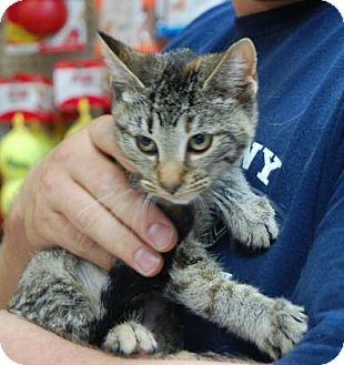 Domestic Shorthair Kitten for adoption in Brooklyn, New York - Firefly