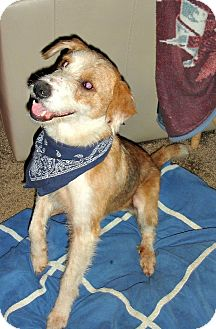 Airedale Terrier/Border Collie Mix Dog for adoption in Mount Ida, Arkansas - Chewbacca