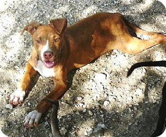 American Staffordshire Terrier Mix Dog for adoption in San Antonio, Texas - Tanner