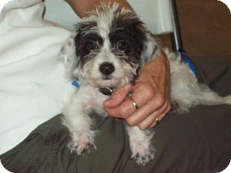 Shih Tzu/Terrier (Unknown Type, Medium) Mix Puppy for adoption in Green Cove Springs, Florida - Jilley