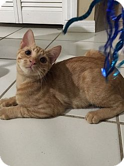 Domestic Shorthair Cat for adoption in Tampa, Florida - Freddie