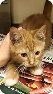 Domestic Shorthair Kitten for adoption in Columbus, Georgia - Joey 6905