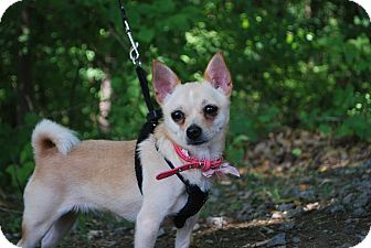 Chihuahua Mix Dog for adoption in New Castle, Pennsylvania - Pippie