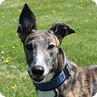 Greyhound Dog for adoption in Carol Stream, Illinois - RTR Prime It Up