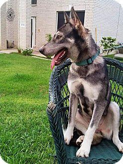 Siberian Husky/German Shepherd Dog Mix Dog for adoption in Arlington, Texas - Anna