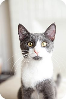 Domestic Shorthair Kitten for adoption in Los Angeles, California - Beckham