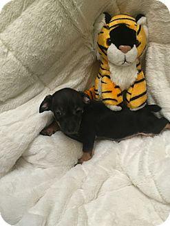 Miniature Pinscher Mix Puppy for adoption in Valencia, California - Cocoa