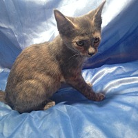 Domestic Shorthair Kitten for adoption in Sarasota, Florida - Josie