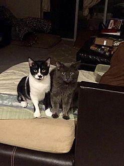 Domestic Mediumhair Cat for adoption in Honolulu, Hawaii - Dusty
