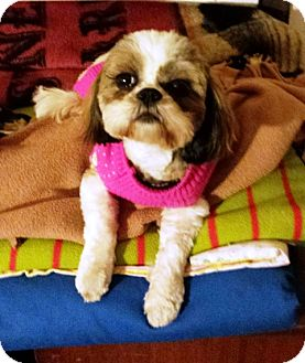 Shih Tzu Dog for adoption in Eden Prairie, Minnesota - ANGELpending