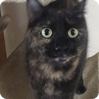 Domestic Shorthair Cat for adoption in Port Charlotte, Florida - Miss Ellie