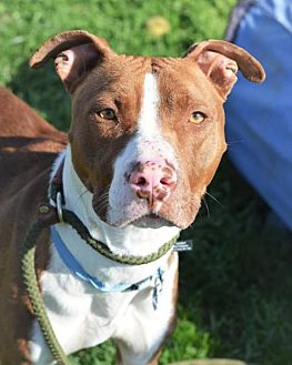 American Pit Bull Terrier Mix Dog for adoption in Manhattan, New York - Happy